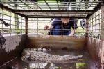 Ditangkap di Sungai Siak, Dibawa ke Kasang Kulim