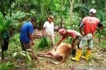Harimau Sumatera Teror Warga Agam