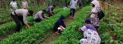 Kapolsek Kuantan Mudik Antusias Panen Sayur di Kampung Tangguh