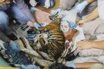 Harimau Mangsa Ternak Warga