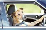 Anjing Ini Kendarai Mobil Selama Satu Jam
