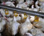 Harga Ayam Anjlok di Pasar