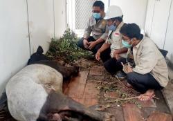 Kaki Tapir Putus Terjerat di Areal Konsesi di Riau