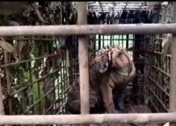 Harimau yang Resahkan Warga Solok Berhasil Ditangkap