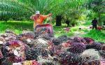 Importir India Stop Beli Sawit Malaysia, Beralih ke Indonesia