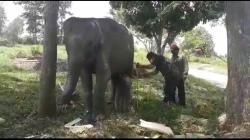 Gajah Sumatera di PLG Minas Melahirkan Anak Betina