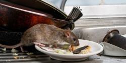 Hantavirus dari Tikus Kini Ditemukan di AS