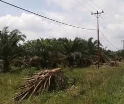 Selamatkan Kera, Tebang 48 Batang Pohon Sawit