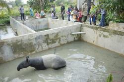 Seekor Tapir Terjebak di Kolam Warga