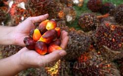 Naik Tipis, Harga TBS Kelapa Sawit Riau Jadi Rp2.084 per Kg