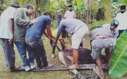 Fraksi Partai Demokrat DPRD Siak Kurban 4 Sapi