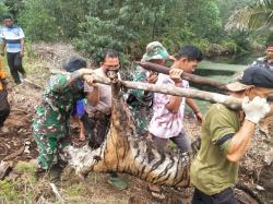 Kembali, Harimau Mati Terjerat Ditemukan di Bengkalis