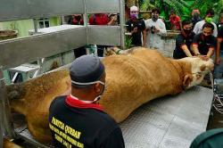 Sapi Kurban dari Presiden Berbobot 897 Kg
