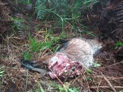Di Siak, 2 Ekor Kambing Mati Diduga Dimangsa Harimau