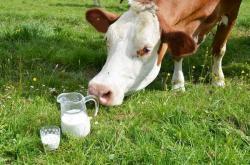 Ternyata, Susu Sapi Tipe A1 Berbahaya Bagi Kesehatan