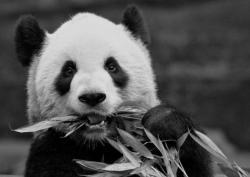 Cina Dirikan Pengadilan Khusus untuk Lindungi Panda Raksasa