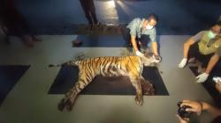 BBKSDA Ungkap Ini Penyebab Harimau di Bengkalis Mati