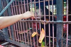 Beruang Madu Dievakuasi ke Klinik Satwa BBKSDA RIAU