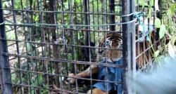 Harimau di Teluk Lanus Kakinya Terluka, Dibawa Berobat ke Dharmasraya