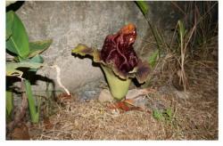 Heboh Bunga Bangkai di Bengkalis, Warga: Busuknye Bau Die