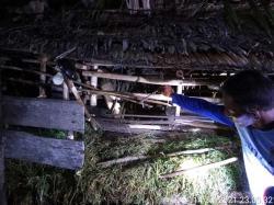 Kampung Teluk Lanus Siak Kembali Mencekam, Harimau Mangsa Ternak Warga