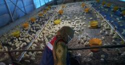 Budidaya Ternak Ayam Broiler di Sekitar Tol Pekanbaru-Bangkinang