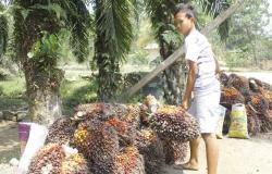 Kesulitan Ekonomi Akibat Covid-19, Turunkan Harga TBS Kelapa Sawit