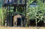 Video Kemuculan Harimau Bukan di Kandis