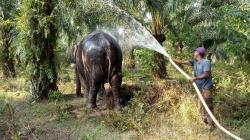 BBKSDA Evakuasi Gajah Tunggal Seberat 4 Ton di Rohil