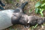 Diduga Korban Perburuan, Tapir Mati Mengenaskan di Logas Tanah Darat