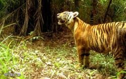 KLHK dan Mitra Berhasil Identifikasi Individu Baru Harimau Sumatera