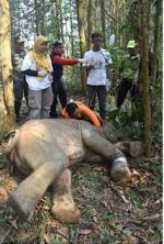 Terperangkap Jeratan Babi, Gajah Liar Dievakuasi