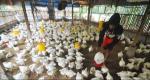 Ratusan Peternak Mandiri Terancam Gulung Tikar