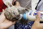 Tragis, Anak Leopard Senilai Rp450 Juta Mati di Kebun Binatang Kasang Kulim