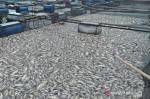 Puluhan Ton Ikan Nila di Maninjau Mati Mendadak