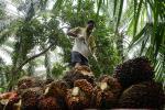 Harga Sawit Riau Naik ke Rp1.858,31 per Kg
