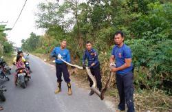 DPKPP Pekanbaru Evakuasi Ular Sanca Di Pemukiman Warga