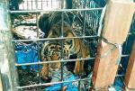 Tim BBKSDA Riau Berhasil Tangkap Harimau Sumatra di Inhil