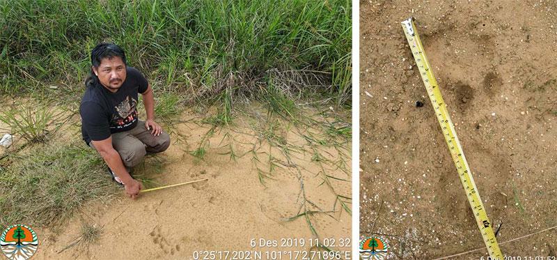 Hati-Hati, Tiga Ekor Harimau di Perbatasan Pekanbaru-Bangkinang